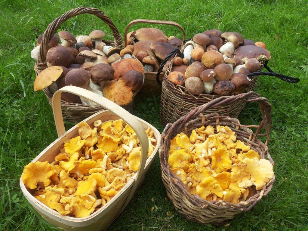 spiselige skov svampe ,Karl Johan og Kantareller